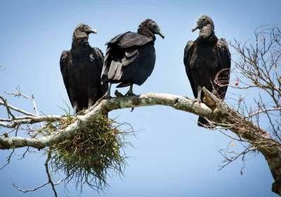Black vultures at Río de la Pasión (Dr. Nicholas M. Hellmuth)