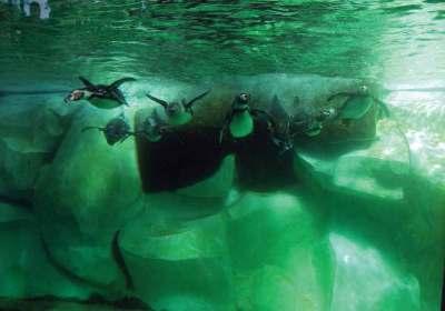 Humboldt Penguins Arrive at La Aurora Zoo