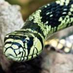 Tropical rat snake. This beautifully colored snake is an arboreal non-venomous rat hunter