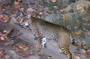 Bobcat Guatemala