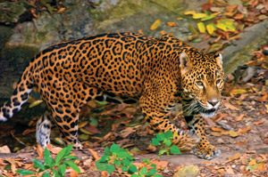 Jaguar Guatemala