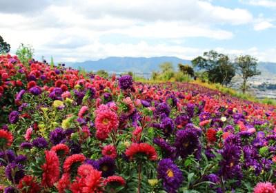 flowers of Guatemala