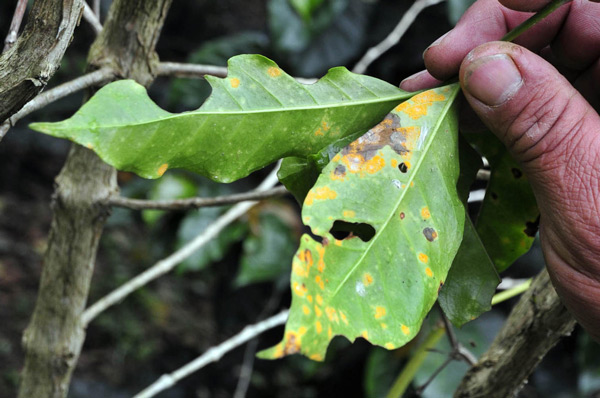 This is what coffee rust does to the Coffee Plant