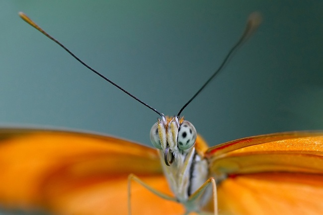 papillondryasjuliaenpho