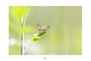 delucine-icarus_rp