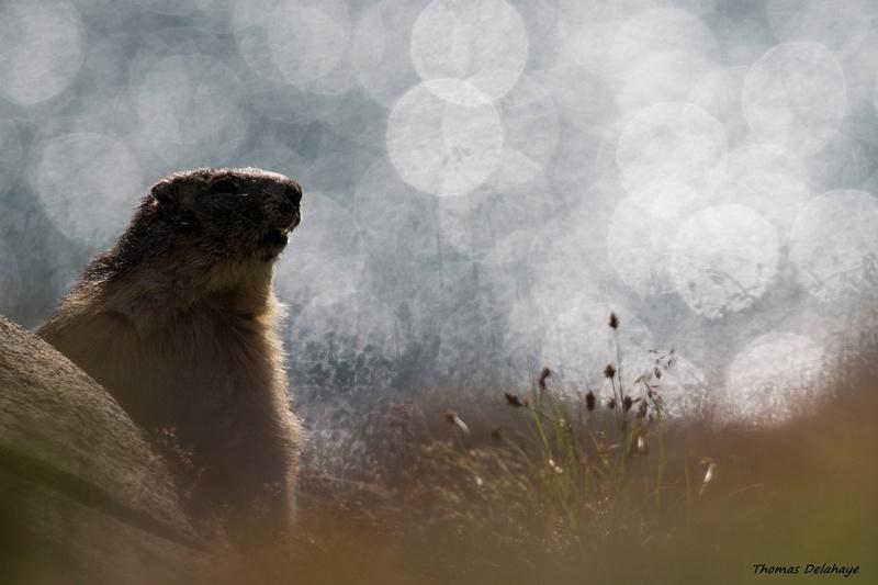 Féérie pour marmotte