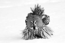 Great Grey Owl 1ER PRIX « Catégorie 12-15 ans » Attribué à Liina HEIKKINEN (Finlande)