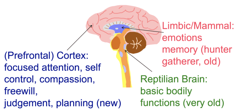 Evolutionary development of the brain