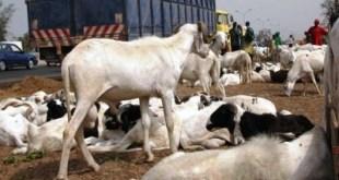 Tabaski-2021 : L'approvisionnement en moutons menacé
