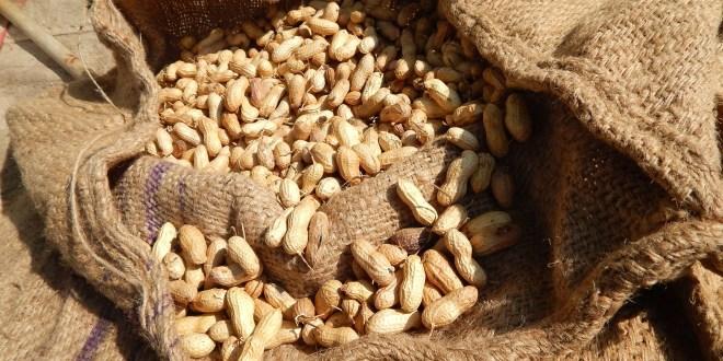 Campagne arachidière: Le ministre autorise