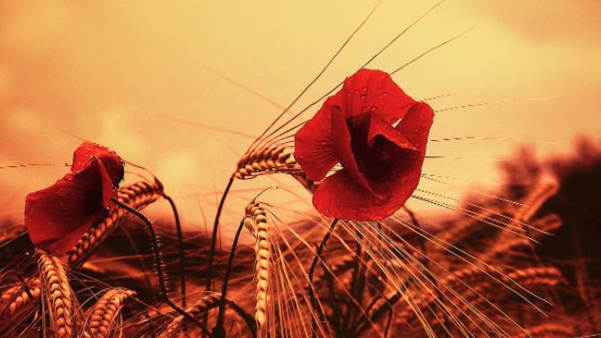 长在麦田里的罂粟花。(Public Domain)