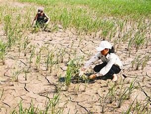 Do khô hạn nên nhiều diện tích trồng lúa ở miền Trung phải chuyển sang trồng hoa màu.