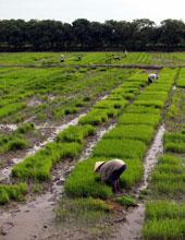 Nhổ mạ trên cánh đồng lúa vùng ĐBS Cửu Long