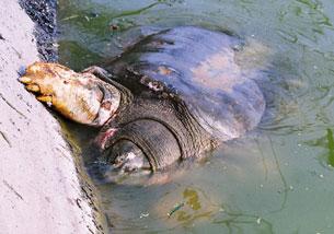 Cụ Rùa Hồ Gươm mang nhiều vết thương trên người có vẻ mệt mỏi.