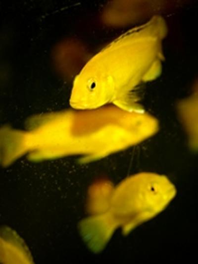 Haplochromis milomo african cichlid placidochromis milomo for Archer fish for sale
