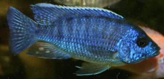 Blue Peacock African Cichlid (M Aulonocara nyassae ... Electric Blue Peacock Cichlid