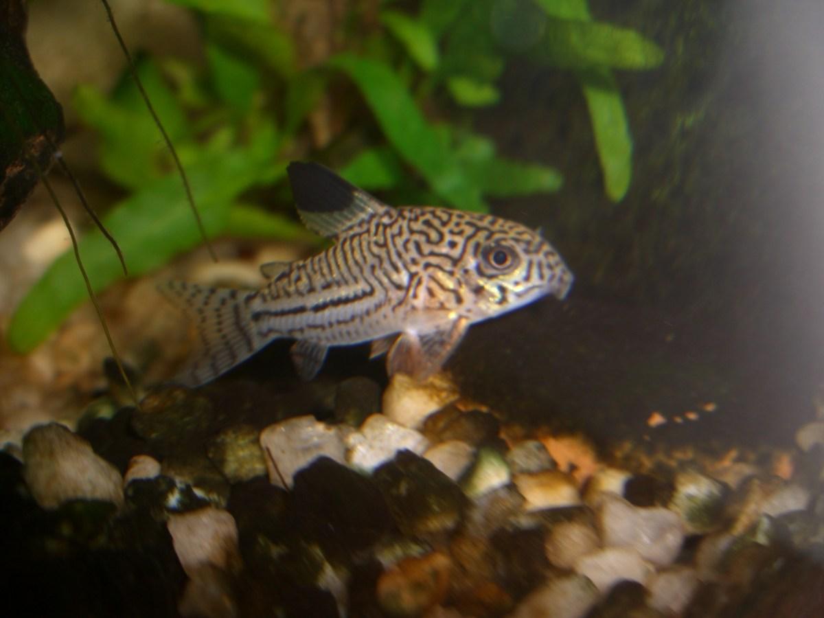 Corydoras julii aquarium fish for sale for Archer fish for sale