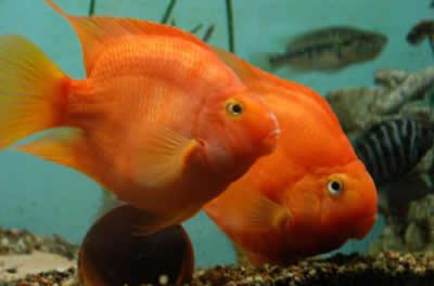 red parrot cichlid 2 inch aquarium fish for sale