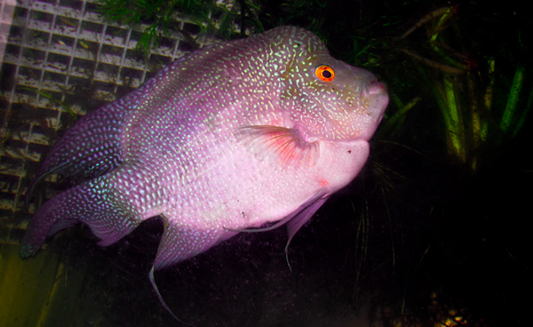 Regal Purple Starburst Flower Horn Cichlid (3-4 Inches