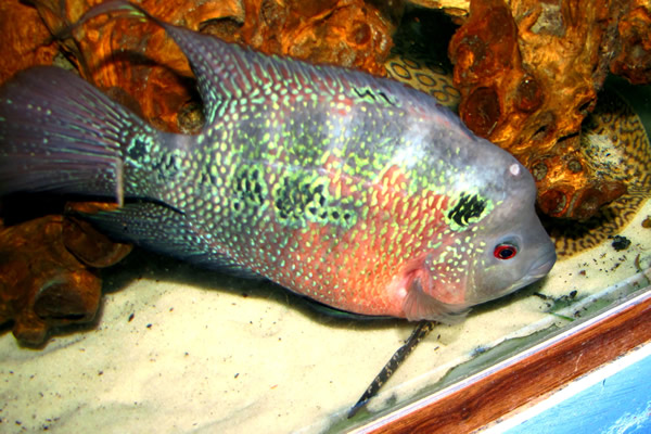 Red Pearl Flowerhorn Cichlid 2 inch | Aquarium Fish For Sale