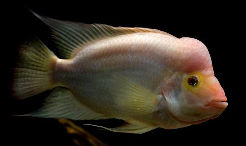 Midas cichlids albino aquarium fish for sale for Archer fish for sale
