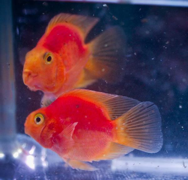 Parrot cichlids aquarium fish for sale for Cichlid fish for sale