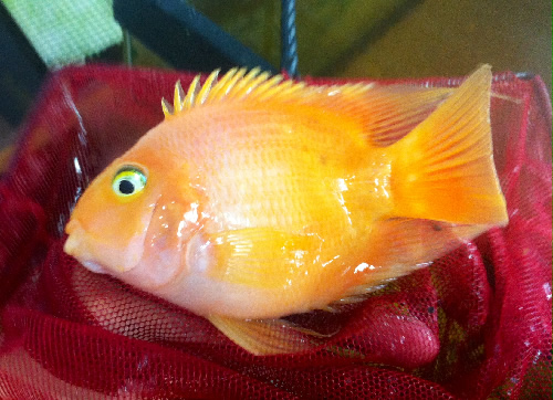King kong parrot cichlid 2 3 inch aquarium fish for sale for Parrot fish for sale