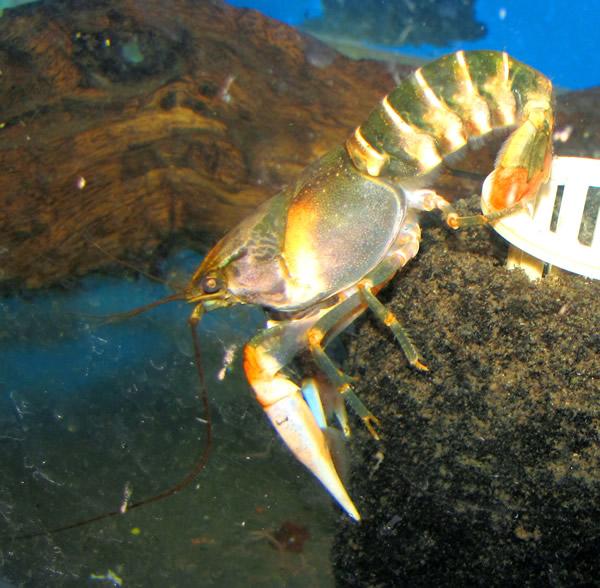 Apricot crayfish aquarium fish for sale for Archer fish for sale