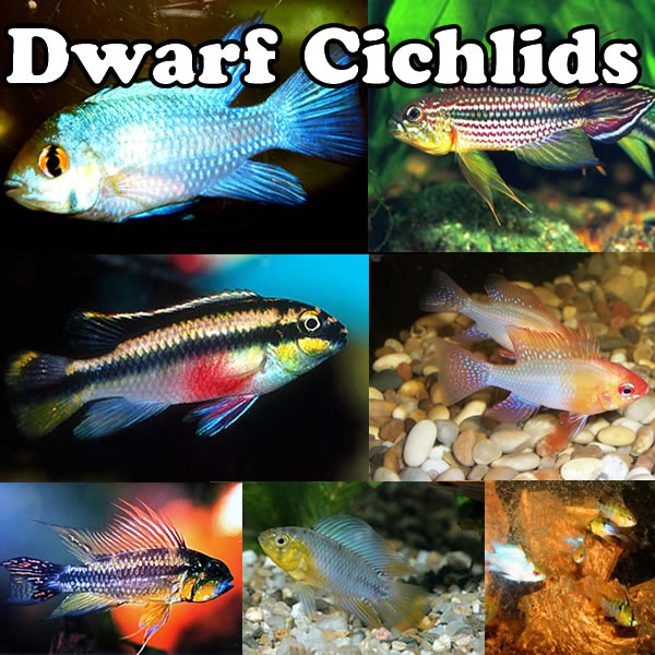 Dwarf Cichlids