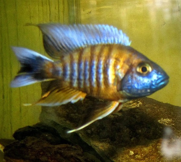 Eureka Peacock African Cichlid (3-4 Inches)