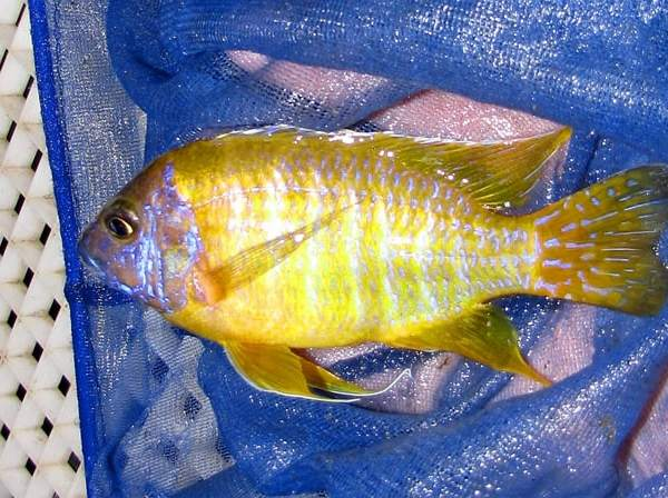 Sunshine Peacock African Cichlids (Breeding Pair)