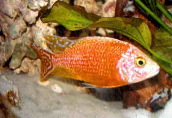 Tangerine Peacock African Cichlid (3-4 Inches)