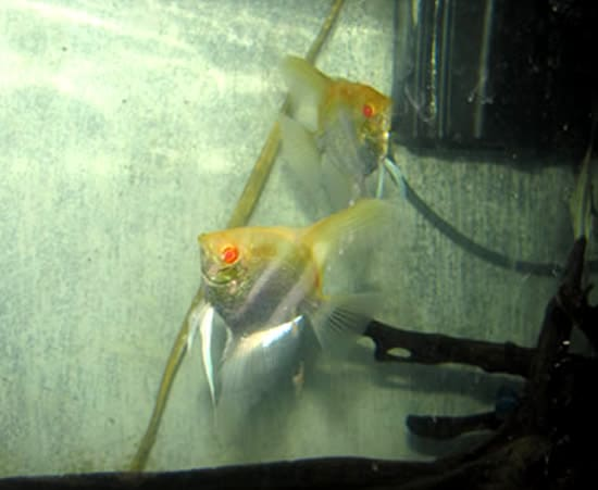 Ruby oscar astronotus ocellatus aquarium fish for sale for Archer fish for sale