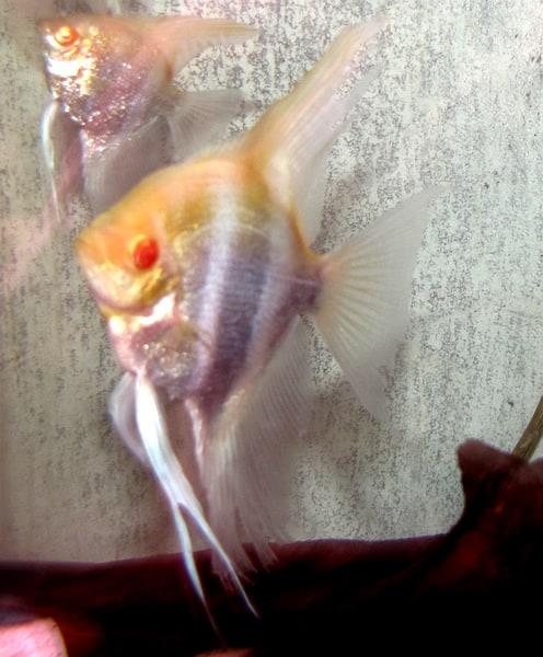 Breeding Pair of Albino Angelfish