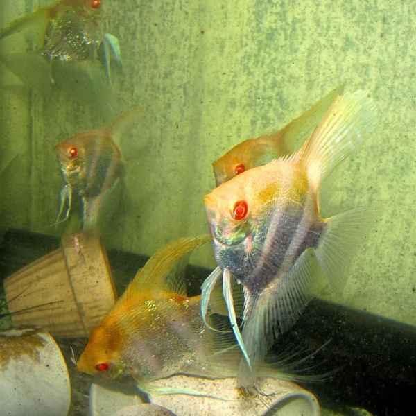Albino Altum Angelfish