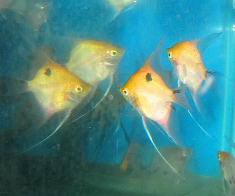 Koi angelfish aaa grade aquarium fish for sale for Archer fish for sale
