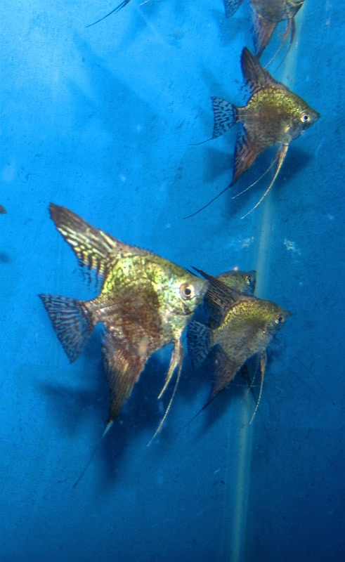 Green Leopard Angelfish