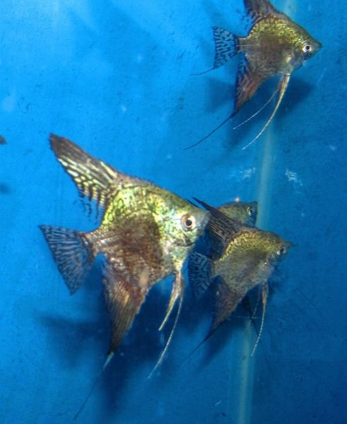 Green Leopard Angelfish