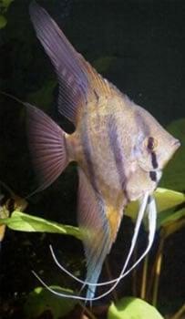 Peruvian Altum Angelfish