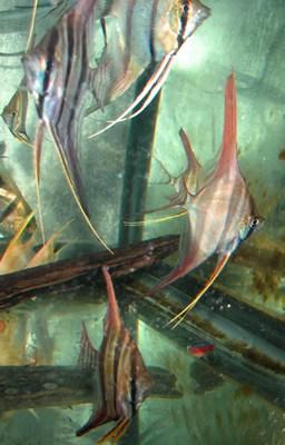 Red Morph Altum Angelfish