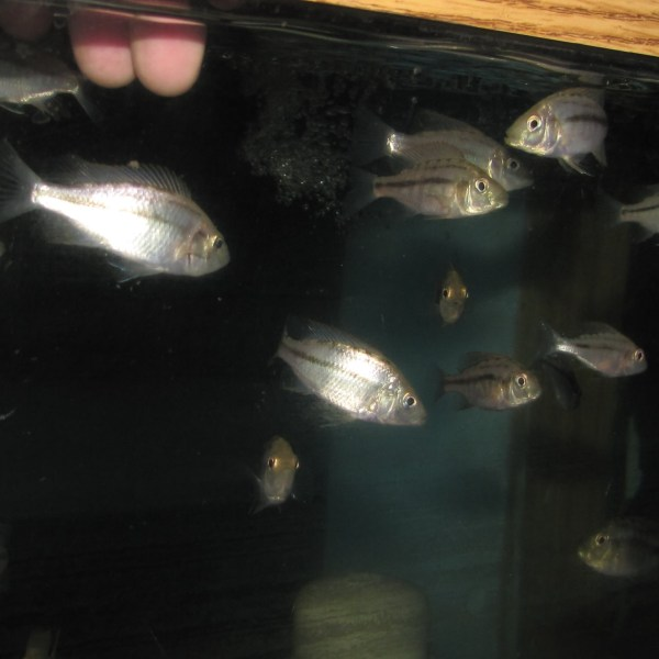 Compressiceps African Cichlids (2 - 3 Inches)