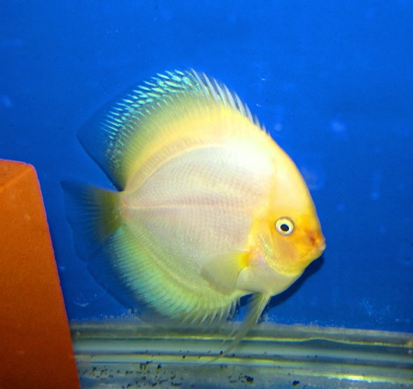 Giant Halo White Diamond Discus