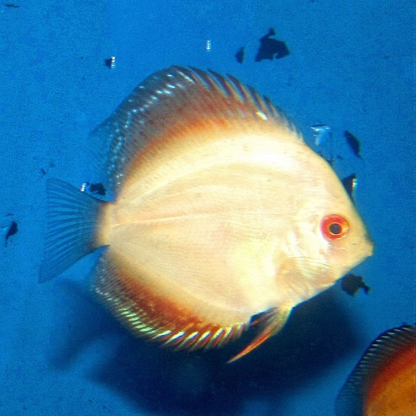 Gold Albino Discus (2 Inches)