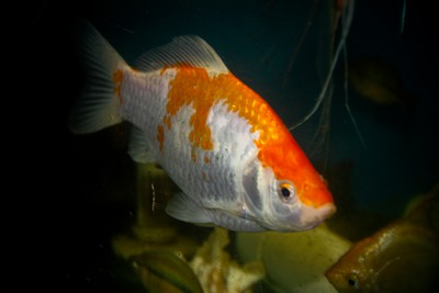 Extra large goldfish 6 8 inches aquarium fish for sale for Archer fish for sale