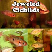 Jeweled Cichlids
