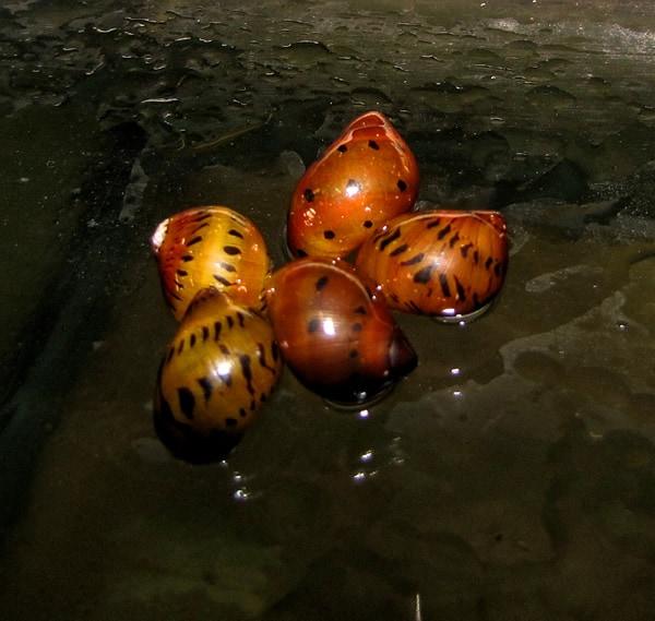 Jumbo Tiger Aquarium Snail