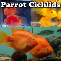 Parrot Cichlids