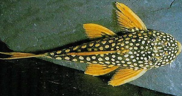 Goldy Pleco