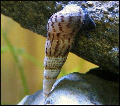 Trumpet Aquarium Snail