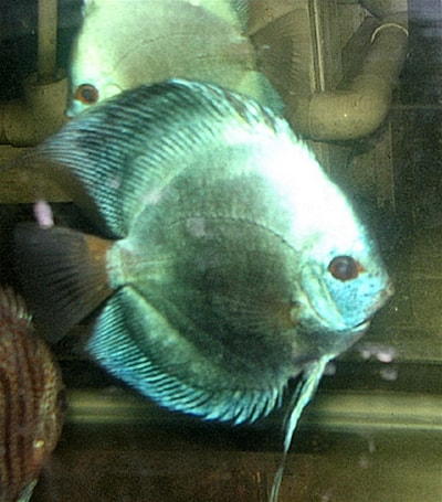 Blue Diamond Discus (2 Inches)